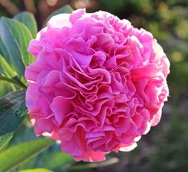 Пион Carnation Bouquet Карнейшн Букет (Seidl Bill 1996) (саженцы)