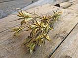 Нігела східна, сухоцвіт, 12 шт. коробочок, h-20 см., 25 грн., фото 2