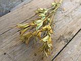 Нігела східна, сухоцвіт, 12 шт. коробочок, h-20 см., 25 грн., фото 3