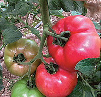 ПИНК РОУЗ F1 - семена томата, Yuksel Seeds 500 семян