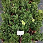 Саженцы Ели канадской Коника (Picea glauca Conica) - 4-х летняя, фото 3