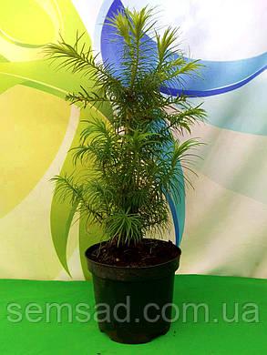 """Ель """"Куннингамия ланцетовидная"""" \ Cunninghamia lanceolata  ( саженцы 3 л 30-50см.), фото 2"""
