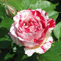 Роза флорибунда Матиас