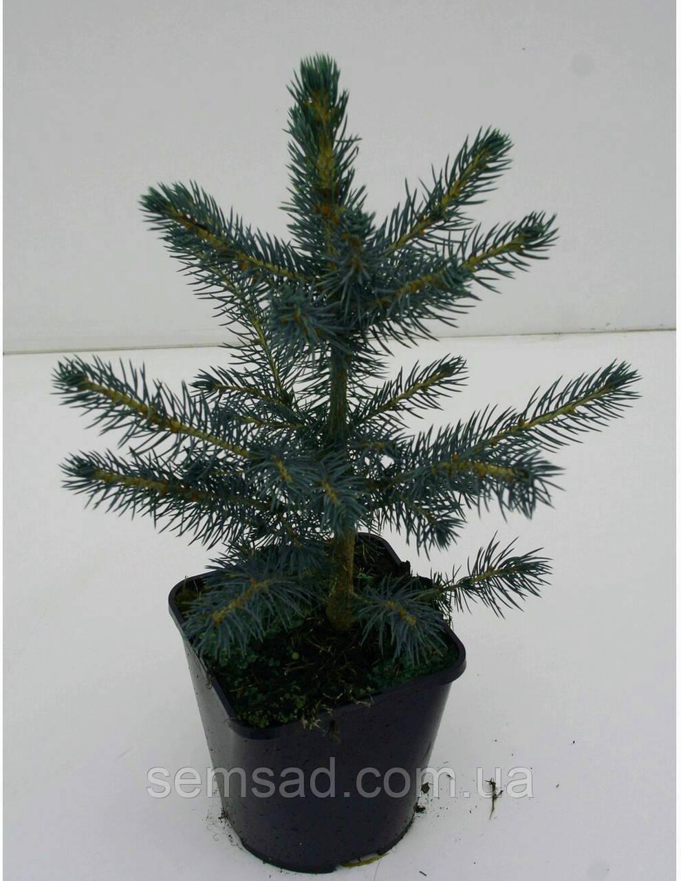 Ель колючая голубая Кейбаб \ Picea Pungens Glauca Kaibab ( С1.5) саженцы