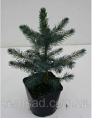 Ель колючая голубая Кейбаб \ Picea Pungens Glauca Kaibab ( С1.5) саженцы, фото 2