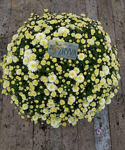 Саджанці Хризантема розсада Multiflora Jasoda Whitе касета (100шт)