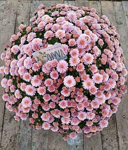 Саджанці Хризантема розсада Multiflora Jasoda  Dark Pink касета (100шт)