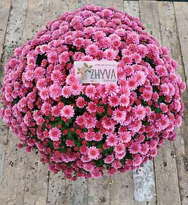 Саджанці Хризантема розсадаMultiflora Jasoda Mauve касета (100шт)