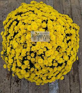 Саджанці Хризантема розсада Multiflora Jasoda Dark Yellow касета (100шт)