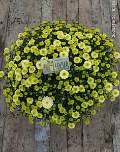 Саджанці Хризантема розсада Multiflora Primo Pistache касета (100шт)