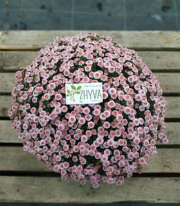 Саджанці Хризантема розсада Multiflorа Pink касета (100шт)