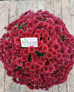 Саджанці Хризантема розсада Multiflora Avalon Purple касета (100шт)