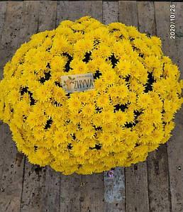 Саджанці Хризантема розсада Multiflora Avalon Yellown касета (100шт)