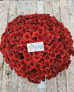 Саджанці Хризантема розсада Multiflora Avalon Red касета (100шт)