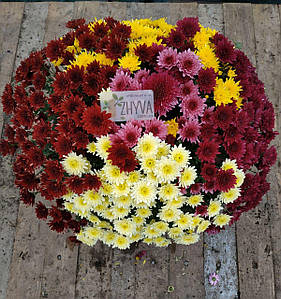 Саджанці Хризантема розсада Multiflorа Мікс 3 сорта касета (100шт)