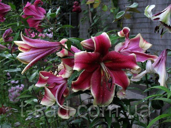 Лілія African Lady гігантський квітка