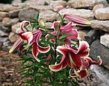 Лілія African Lady гігантський квітка, фото 2