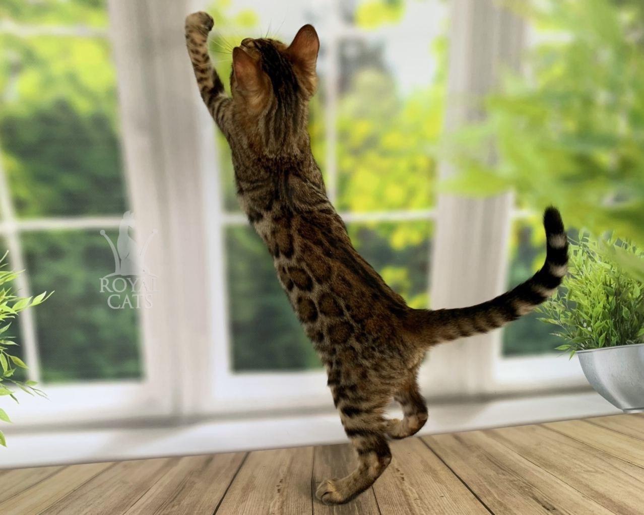 Мальчик бенгал, др. 11.06.2020. Бенгальские котята из питомника Royal Cats. Украина, Киев