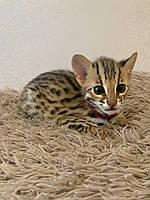 Мальчик АЛК, др. 19.08.2020. Азиатские леопардовые котята из питомника Royal Cats. Украина, Киев, фото 1