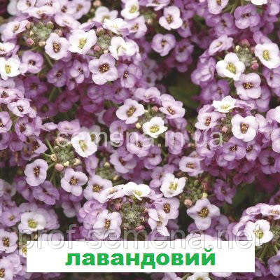 Аліссум Кристал (лавандовий) 100 шт. мультідраже
