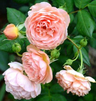 Роза плетистая William Morris Climbing. Саженцы корнесобственные в контейнерах.