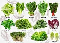 История салата: выращивание новых видов салата в теплице