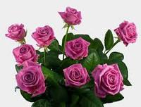 Саженцы роз Аква, чайно-гибридная роза