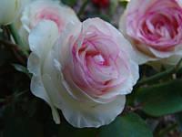 Саженцы  роз флорибунда(парковые) белые с розовой каймой