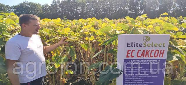 Поле подсолнечника ЕС САКСОН|AGROFON