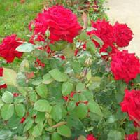 Троянда мініатюрна Торував