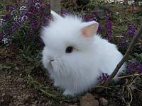 Декоративный кролик - мини