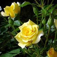 Троянда мініатюрна Жоне