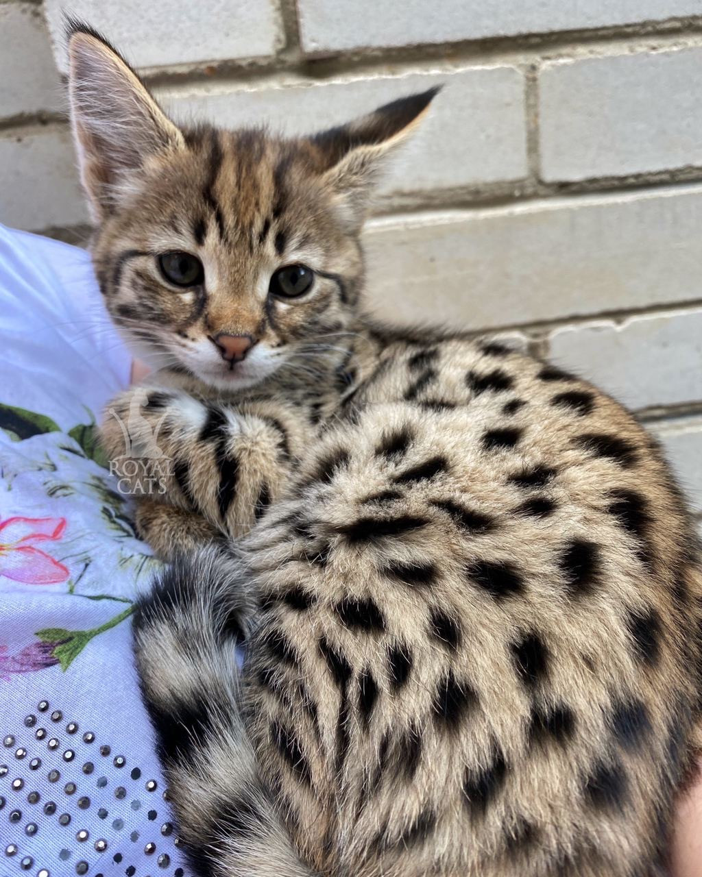 Кошечка Саванна Ф1, родилась 12/07/2020. Котята Саванна Ф1, питомник Royal Cats. Украина, Киев