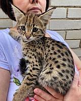 Кошечка Саванна Ф1, родилась 01/08/2020. Котята Саванна Ф1, питомник Royal Cats. Украина, Киев, фото 1