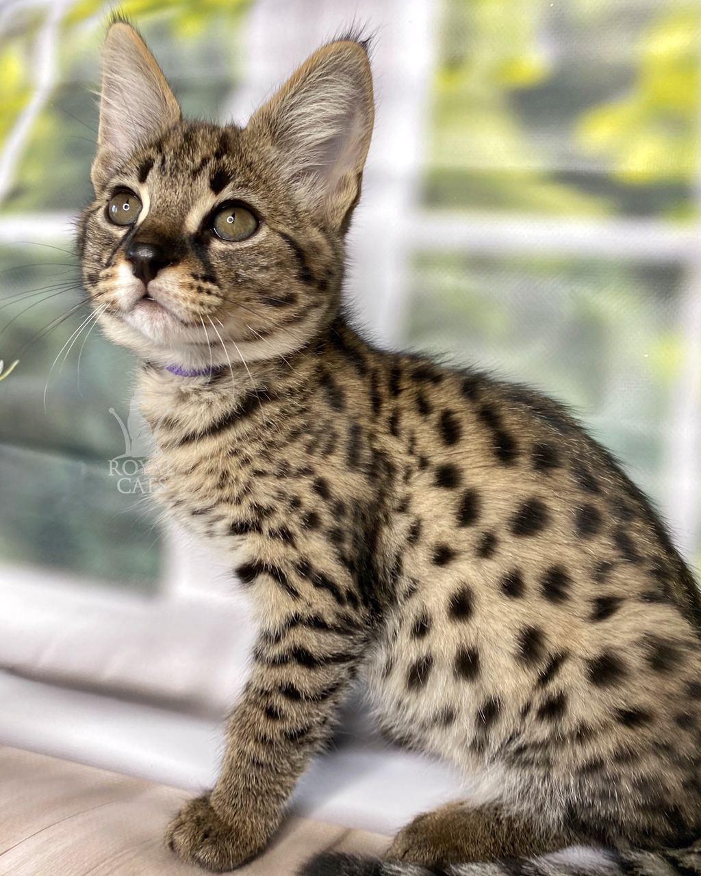Котёнок Саванна Ф1, родилась 01/08/2020. Котята Саванна Ф1, питомник Royal Cats. Украина, Киев