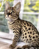 Котёнок Саванна Ф1, родилась 01/08/2020. Котята Саванна Ф1, питомник Royal Cats. Украина, Киев, фото 1