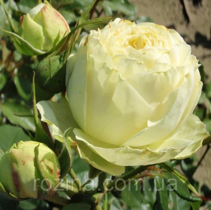 """Саджанці троянди """"Лемон Пиано"""""""