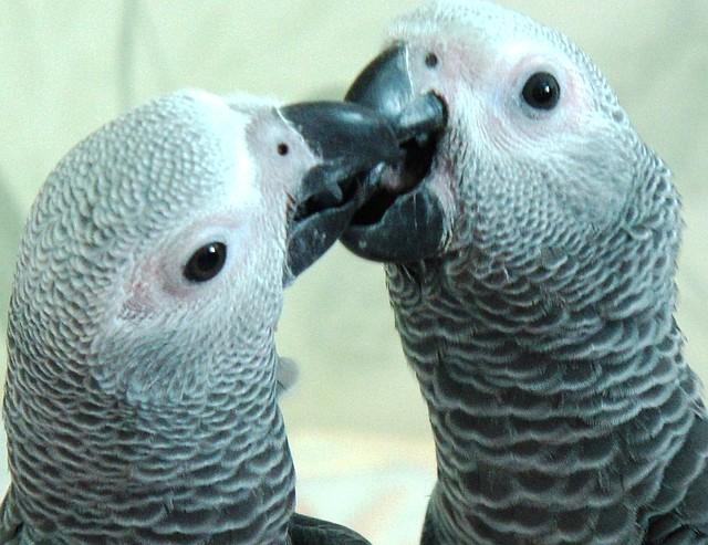 Большие попугаи - Жако, Амазон, Александрийский попугай