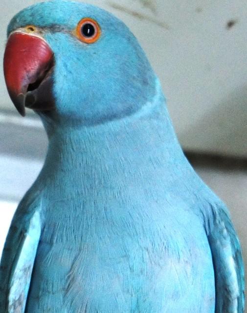 Попугаи средних размеров - Ожереловый попугай, Калита-монах, Розелла, Корелла, Какарик