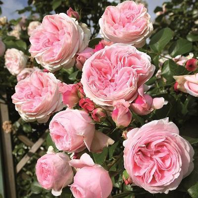Роза в'юнка Giardina (Джардина). Кореневласна в контейнерах.