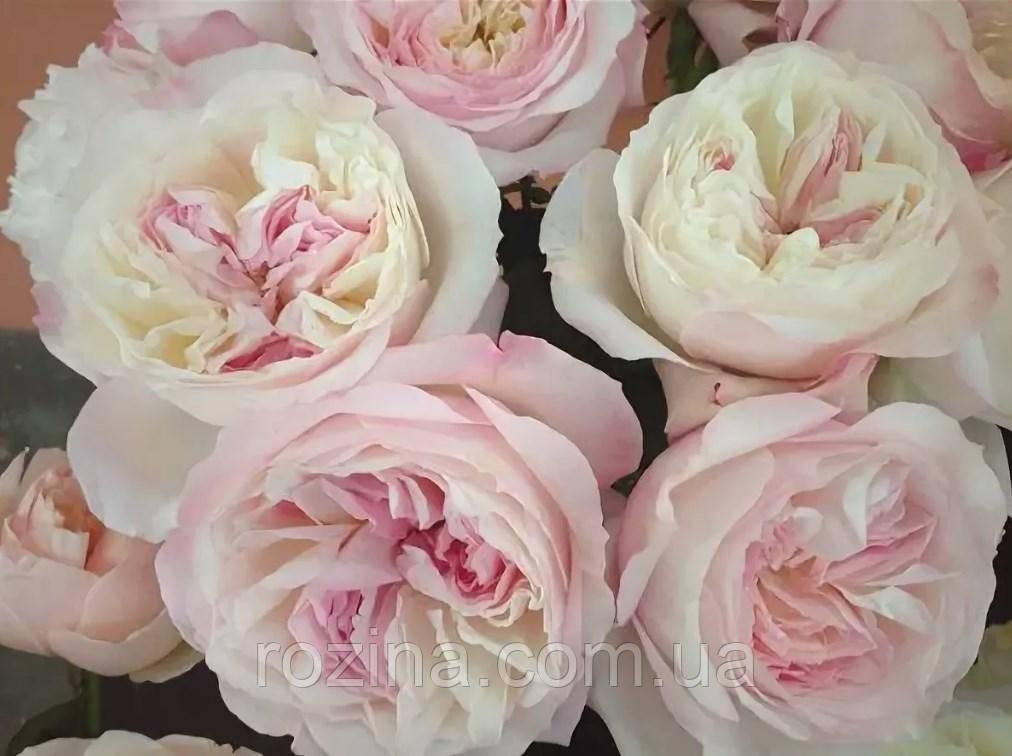 Саженцы розы Кейра