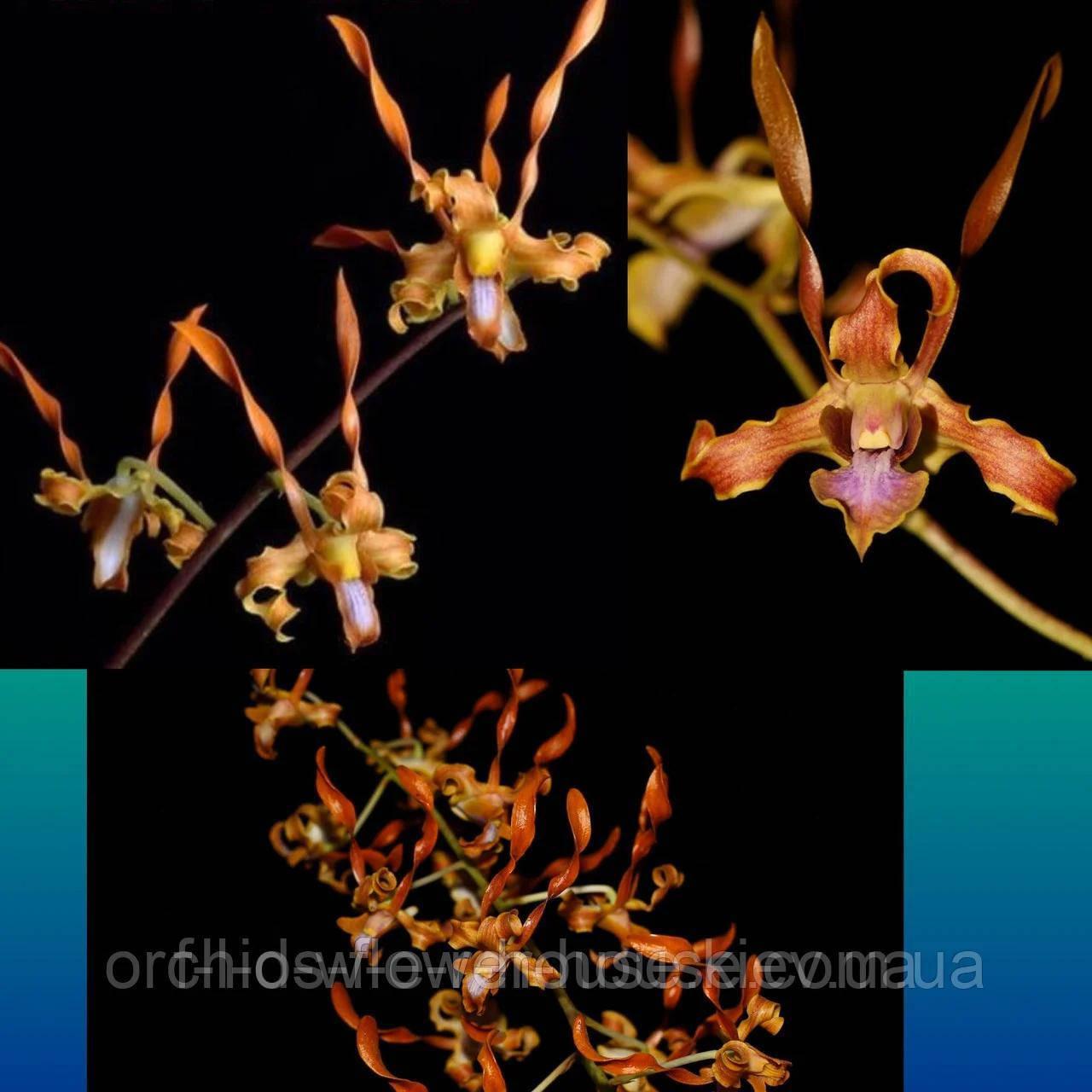 Орхидея Den. tangerinum × self