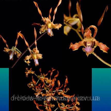 Орхидея Den. tangerinum × self, фото 2