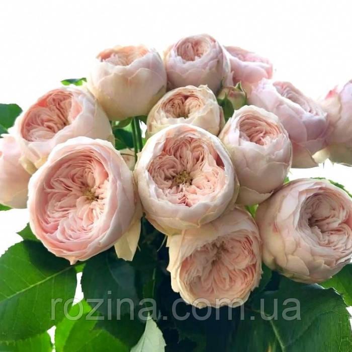 Саженцы розы  Менсфилд Парк
