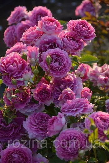 Саженцы розы Шехерезада