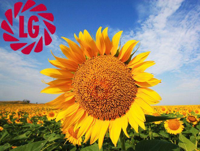 Семена подсолнечника LG 5542, A-G,(Limagrain)