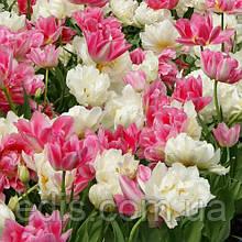 Арт-набір Маршмелоу, 7 цибулин тюльпанів