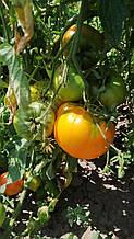 Семена томата раннего сортового  Клондайк оранжевого детерминантного 10 грамм упаковка Украина