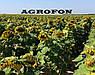 Семена подсолнечника НСХ 2652 технология ГРАНСТАР/СУМО, фото 6
