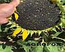 Семена подсолнечника НСХ 2652 технология ГРАНСТАР/СУМО, фото 7